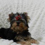 El molinillo de cachorros de Terrier escocés