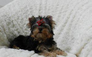 Perros para pisos, Yorkshire terrier mini en un sofá