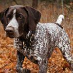 Cómo alimentar a los perros de caza