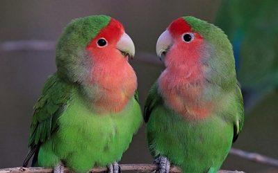 8 Curiosidades sobre los Agapornis, las Aves del Amor