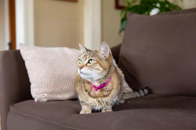 Gato en un sofá donde no se pegan los pelos